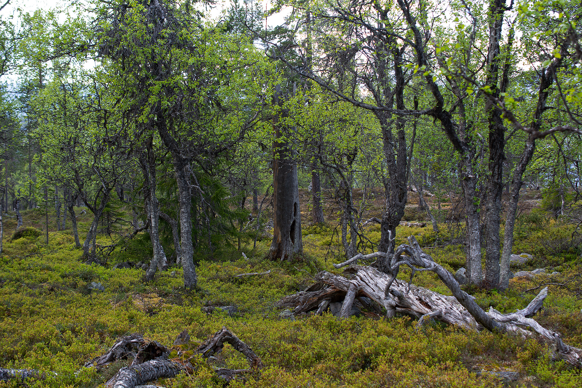 High altitude birch forest at Jyltingsvola in Norway