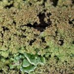 Cladonia parasitica on wood