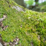 Lobaria virens on norway maple (Acer platanoides)